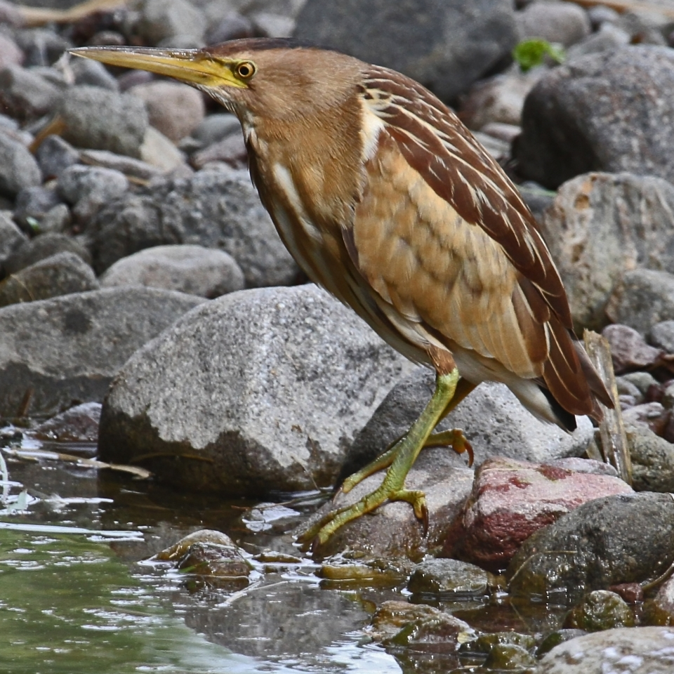 Common little bittern