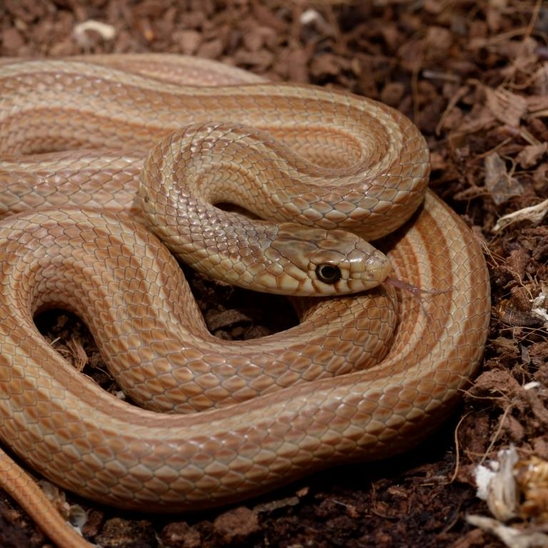 Narrow-striped dwarf snake