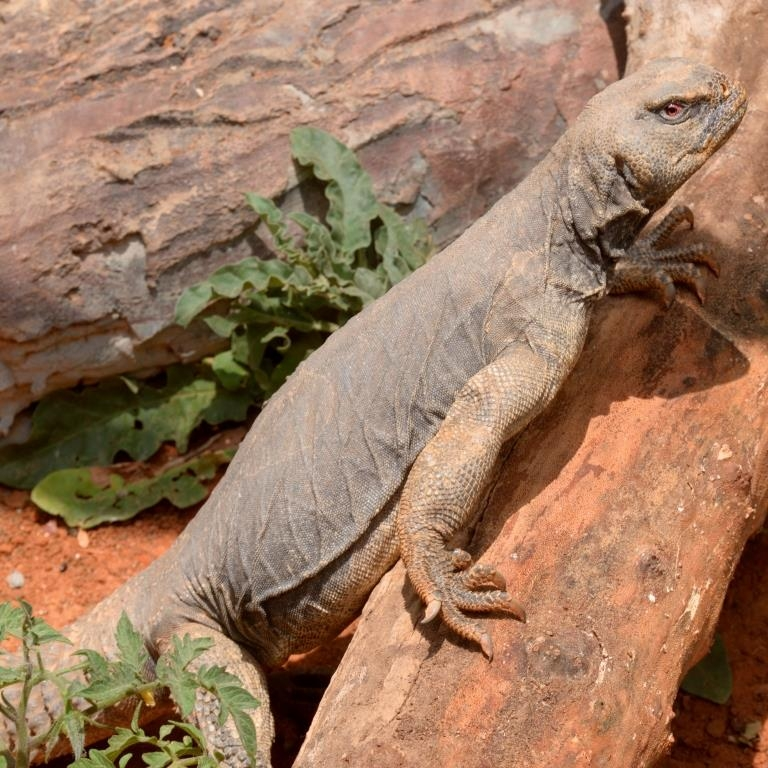 Egyptian spiny-tailed lizard