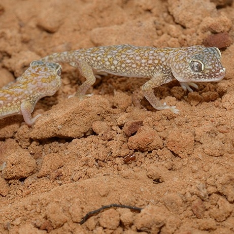 Middle Eastern short-fingered gecko