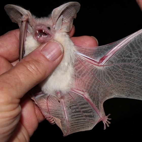 Desert long-eared bat