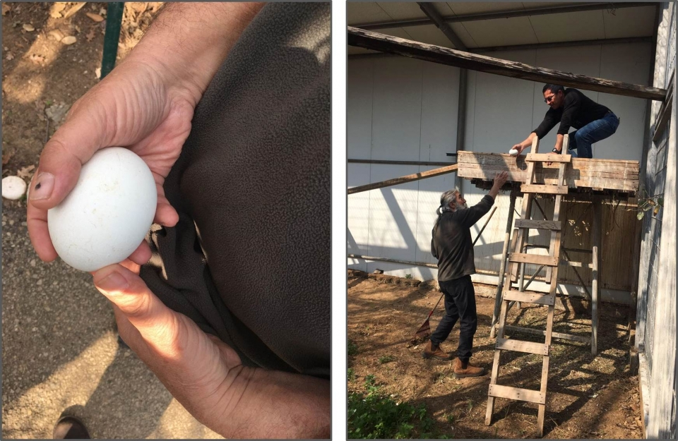 Taking out the vulture egg from its nest