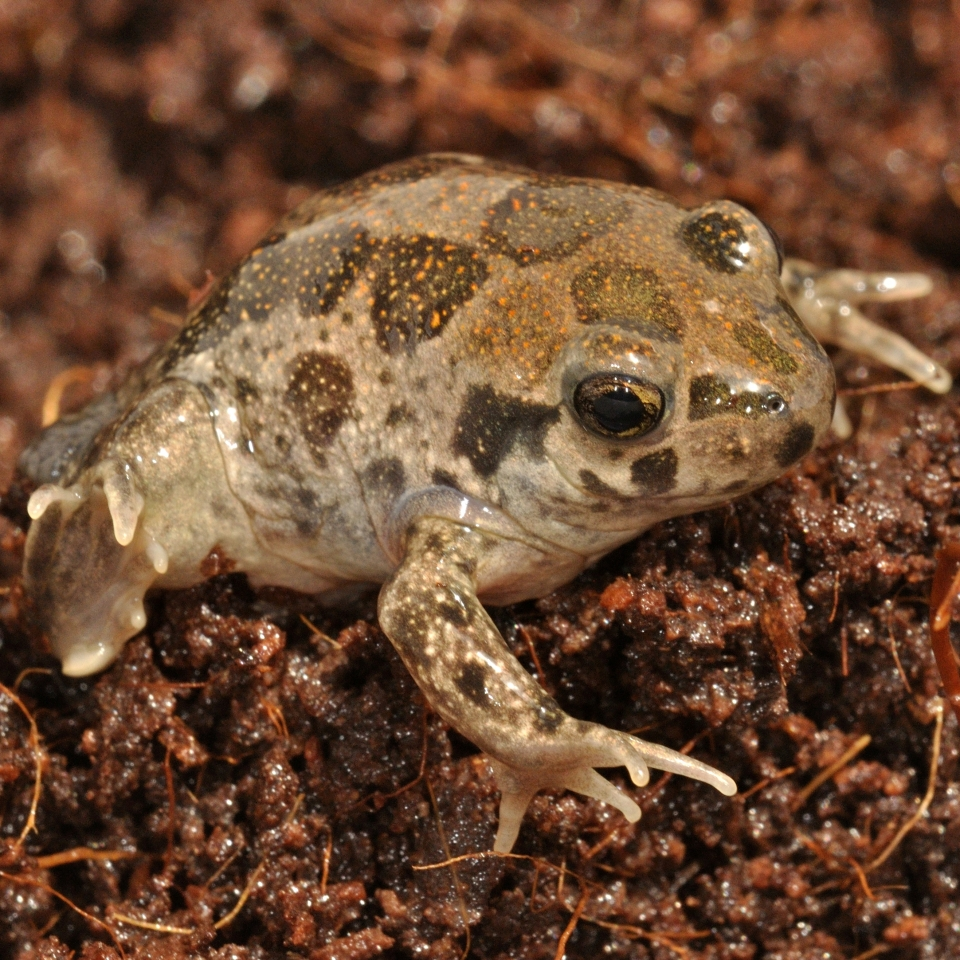 Spadefoot toad, photo: Oz Rittner