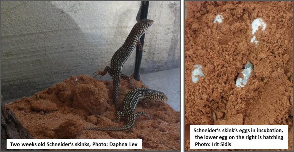 Schneider's skink: eggs and young