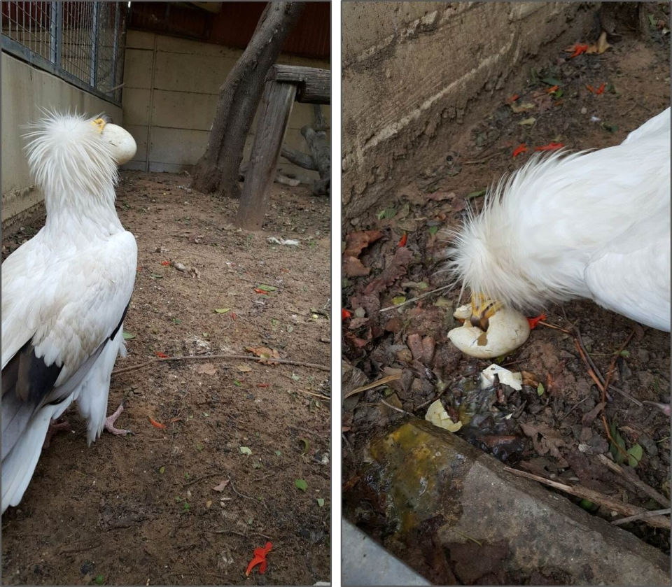 Egyptian vulture cracks an egg