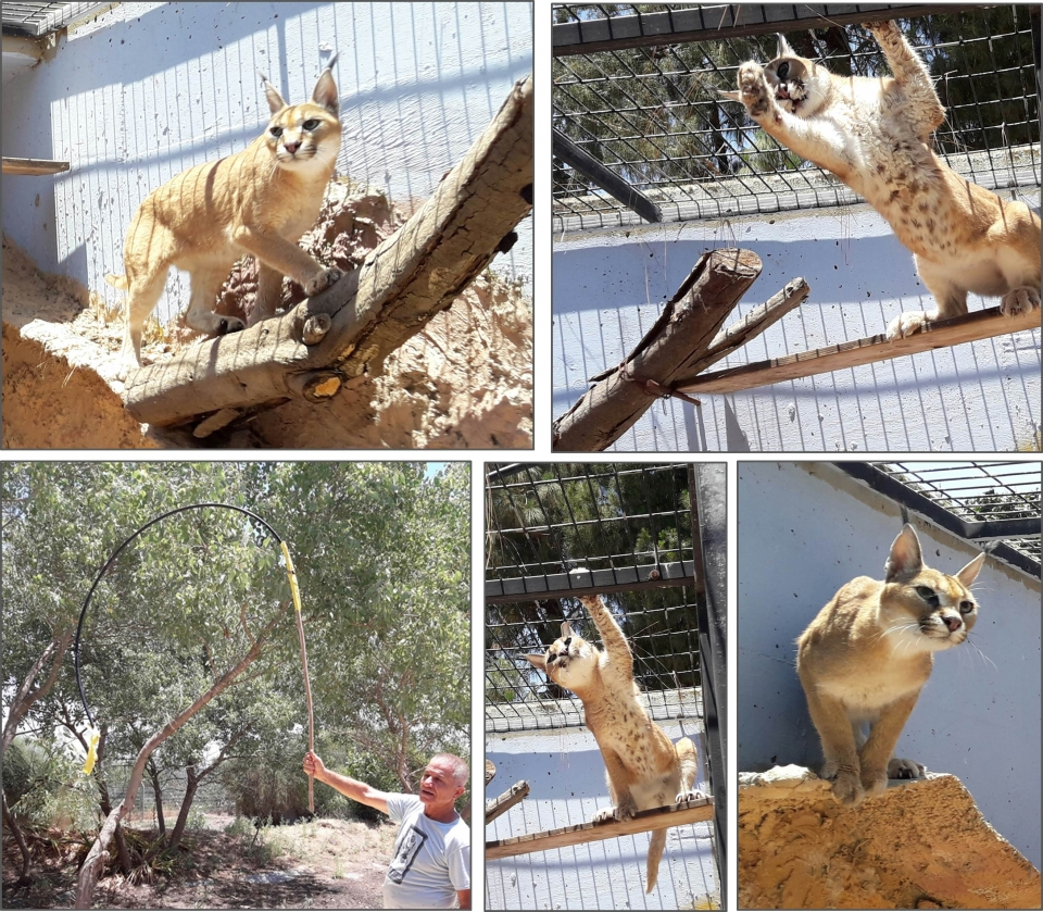 The caracal while trying catching the prey,  on the left  - the animal keeper Jacob Zlait , Photos: Ron Elazari-Volcani