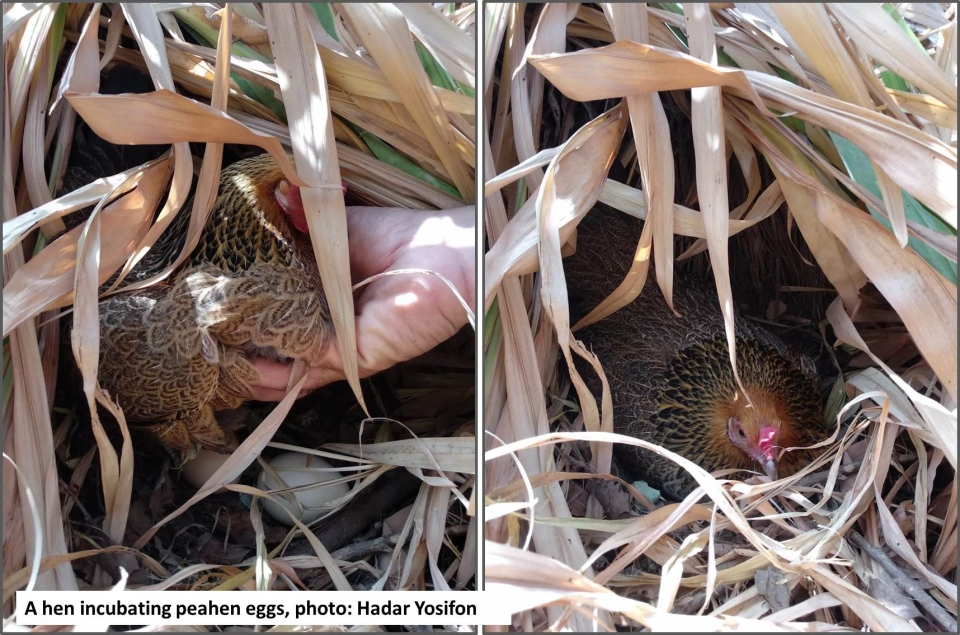 A hen incubating peahen eggs, photo: Hadar Yosifon