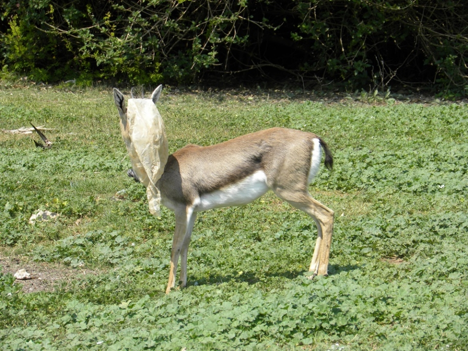 The female gazelle and the plastic bag