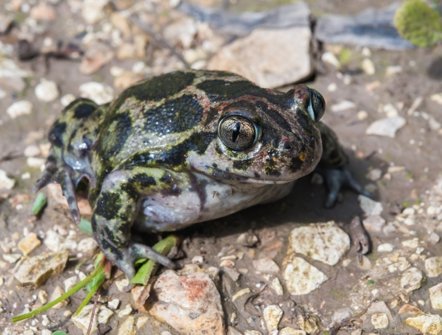 Spadefoot toad, photo: Alex Slavenko