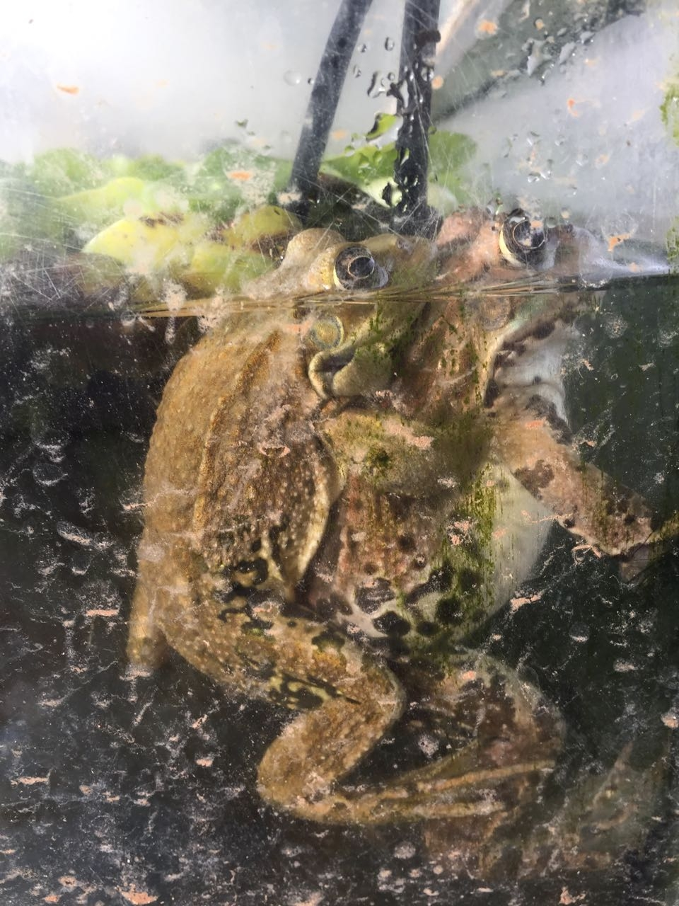 Levant water frogs mating, photo: Ilil Pratt