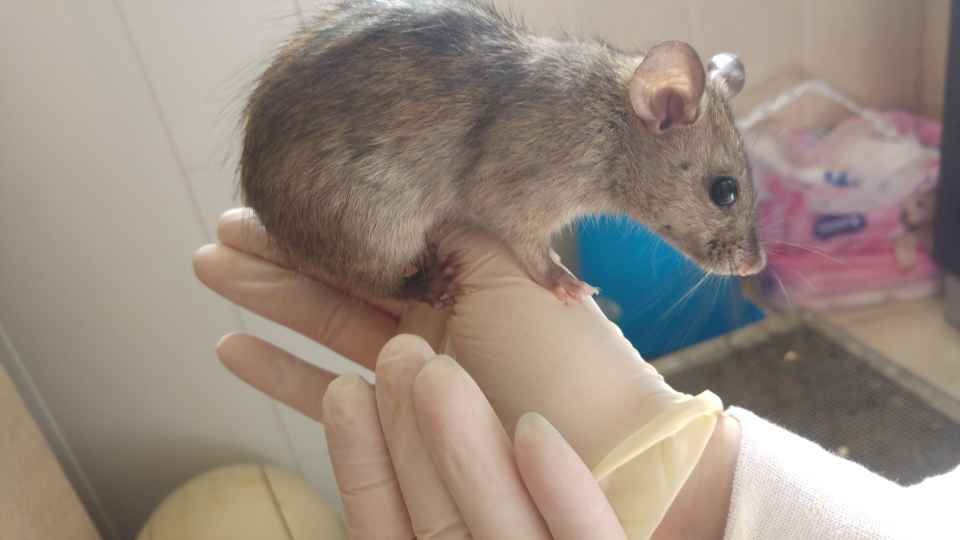 A wild rat on the hand of the researcher, Photos: Ohad Weisberg