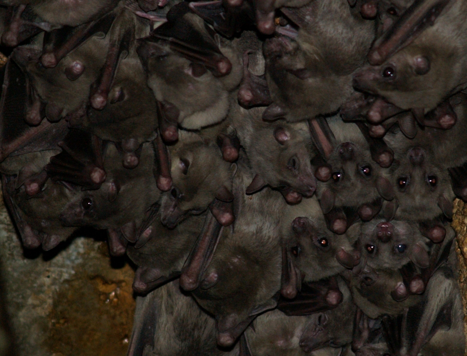 A colony of Egyptian fruit bats, Photo: Eran Levin