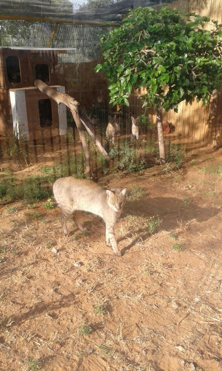 "Our jungle cats in their new home  Photo: courtesy of ""Gan Hai"", Ra'anana Park"