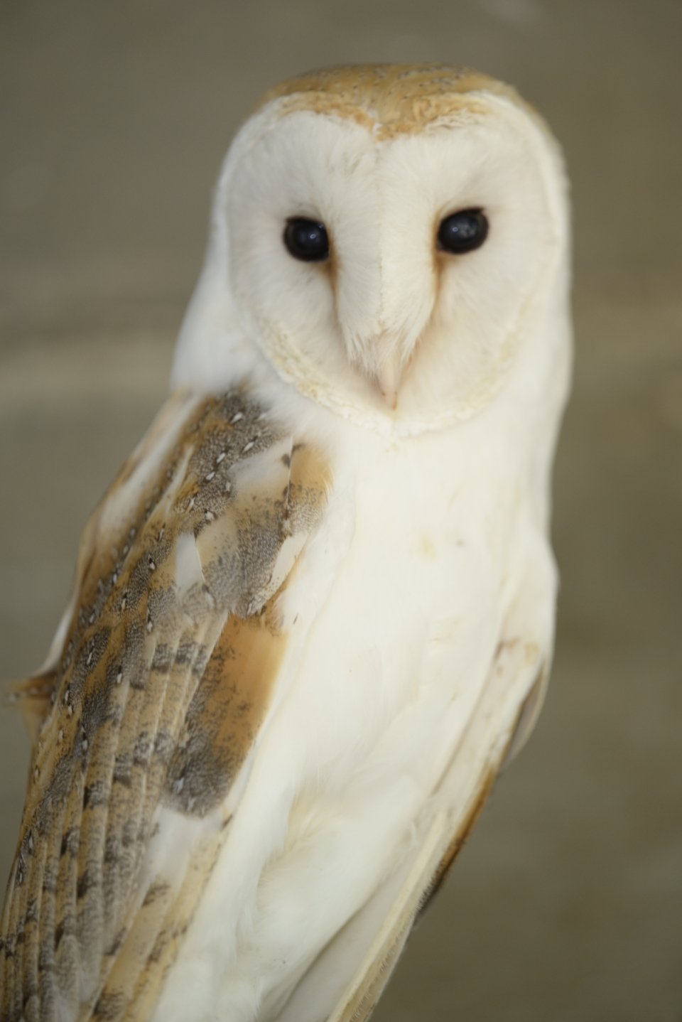 Barn owl, Photo: Oz Rittner