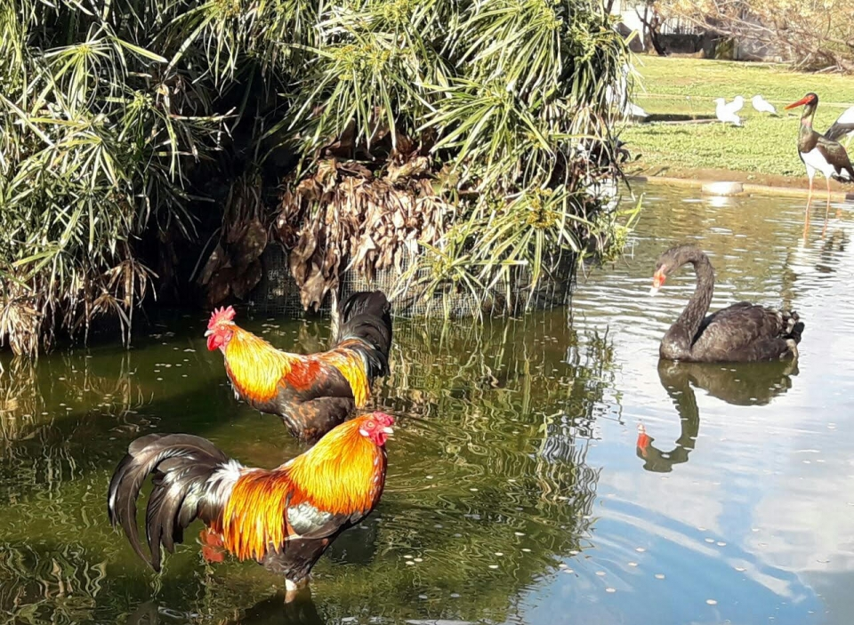 Two roosters in the water, Photo: Ron Elazari-Volcani