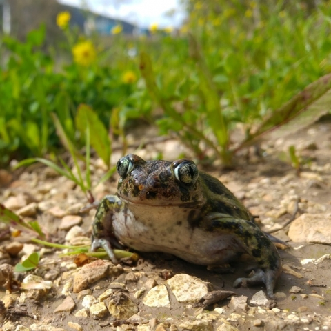 An eastern spadefoot toad a few minutes after being released  back into nature, photo: Simon Jameson
