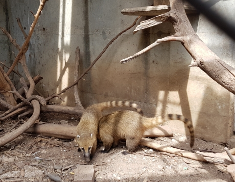 Our two coatis, photo: Ilil Pratt
