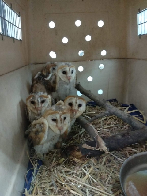 Barn owl nestlings, photo: Hadar Yosifon