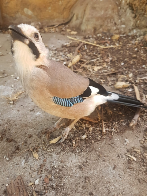 The jay during its rehabilitation.  Photo: Emanuel Bar