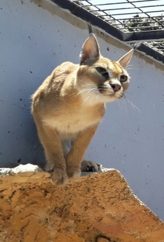 Caracal looks at the prey, Photo: Ron Elazari-Volcani
