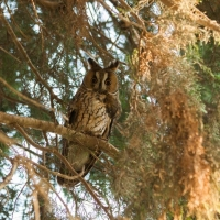 Northern long-eared owl