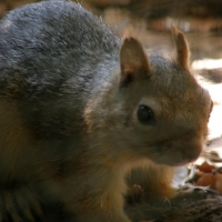 Caucasian squirrel