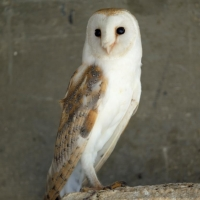 Common barn-owl