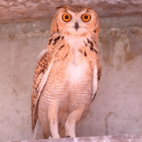 Pharaoh eagle-owl